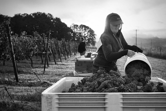 Harvest at Crowley Station Vineyards