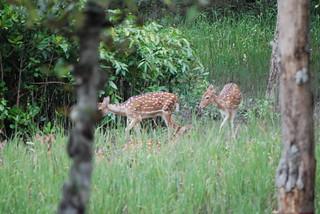 Axis axis DT [BD Sundarbans PN] (1)