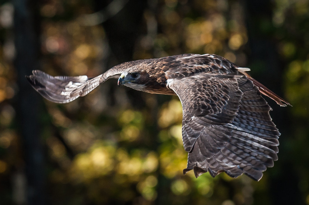 Red-tailed Hawk - in flight
