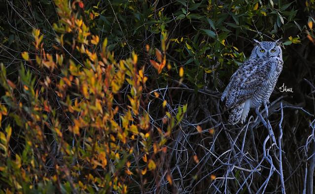Great-horned Owl at dusk - 0171b+