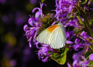"""Orange Shouldered White"" Butterfly on Ribbon Bush flowers 