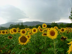 Sunflowers   by PhylB