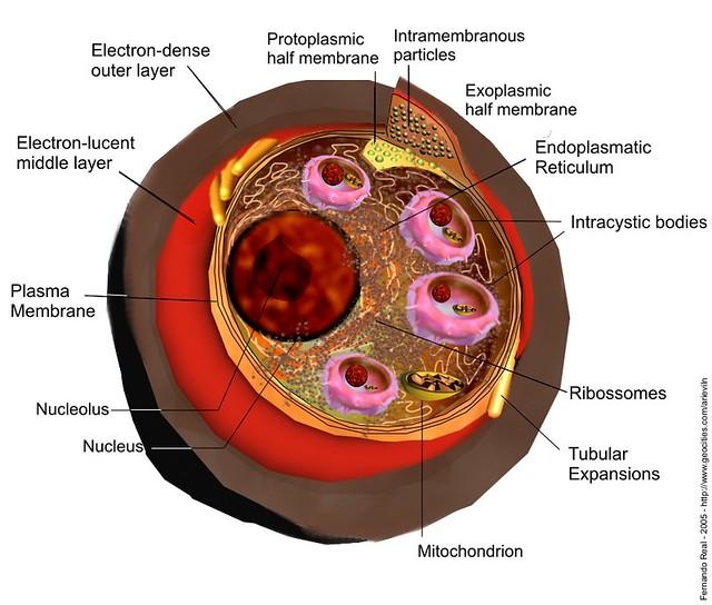 Pneumocystis carinii | 3d Studio max 6 and Corel Photo-paint