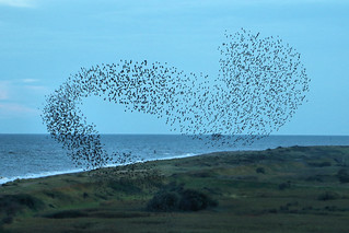 Starling Murmuration - RSPB Minsmere | by Airwolfhound