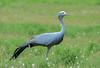 Blue Crane (Anthropoides paradiseus) by Brendon White