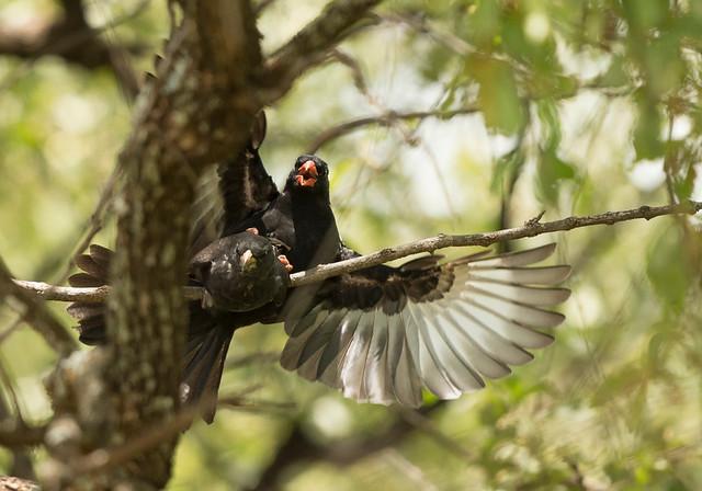 Red-billed Buffalo Weaver, Bubalornis niger, Cawston Block, Matebeleland, Zimbabwe