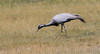 Demoiselle Crane (Anthropoides virgo) by George Wilkinson