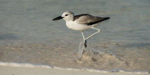 Crab Plover (adult / immature, non-breeding migrant) | by tickspics