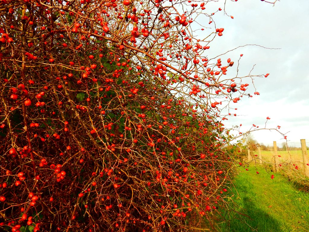 Rosehips Shiplake to Henley