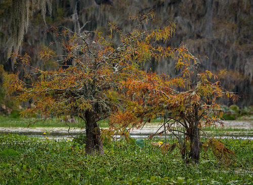 autumn trees usa fall nature season landscape outdoors flora nikon louisiana scenery outdoor scenic foliage bayou swamp wetlands change thesouth deepsouth lakemartin breauxbridge d7100 afs200500mmf56evr