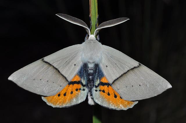Geometridae: Oenochrominae: Gastrophora henricaria, male