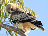 Aguia-calçada // Booted Eagle (Hieraaetus pennatus) by Valter Jacinto | Portugal