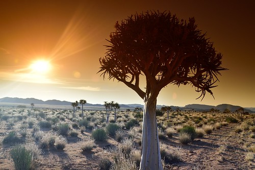 Quiver Tree, Kokerboom, Northern Cape, South Africa | by South African Tourism