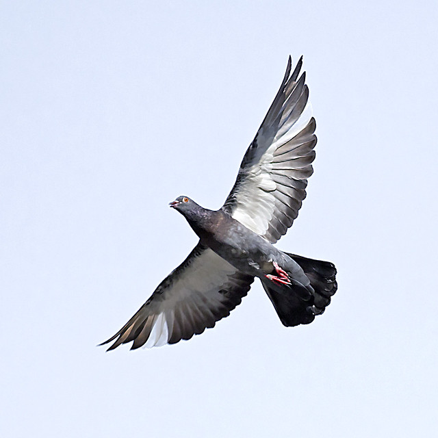 Pigeon in flight by Bottom viewpoint