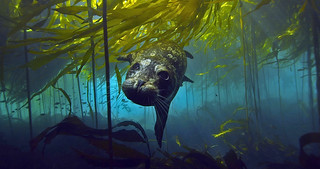 Harbor Seal in Bull Kelp | by Green Fire Productions