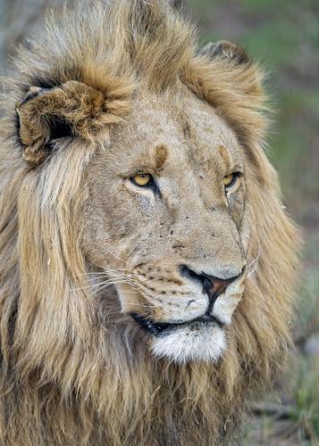 Portrait of a calm male lion | by Tambako the Jaguar