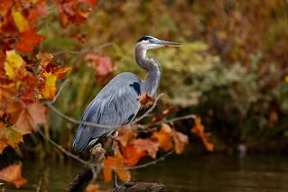 Great Blue Heron in Fall Foliage