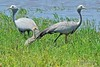 Blue crane - Grue de paradis - Grulla del paraíso - Anthropoides paradiseus by Rafael G. Sanchez