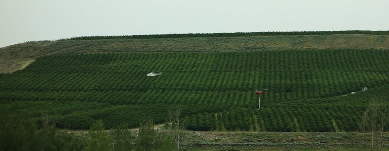 Helicopters drying cherry orchards