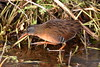 Virginia Rail by brian.bemmels