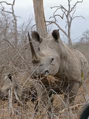 White Rhinos (Ceratotherium simum) female and calf ...