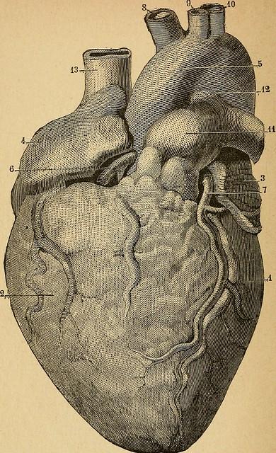"""Image from page 111 of """"Eléments d'anatomie et de physiologie génitale et obstétricale; précédes de la description sommaire du corps humain a l'usage des sages-femmes"""" (1894)"""