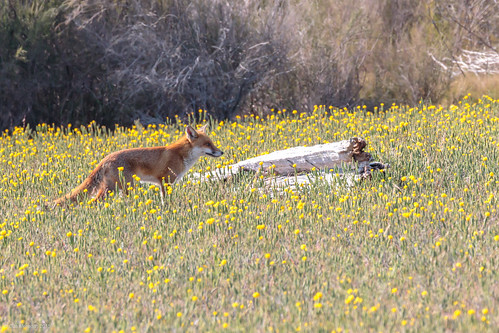 Red Fox | by gus.meredith