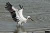 Oriental Stork (Ciconia boyciana) by Dave 2x