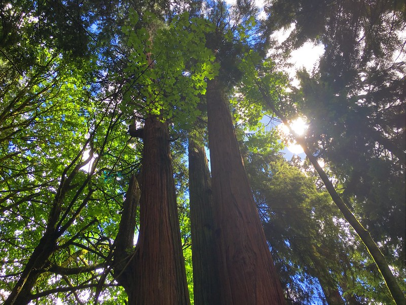 The Triple Giant: 3 Interconnected Western Red Cedars