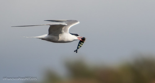 Garajau-comum (Sterna hirundo) Common Tern - Graciosa 2015-08-22 | by FranciscoPires