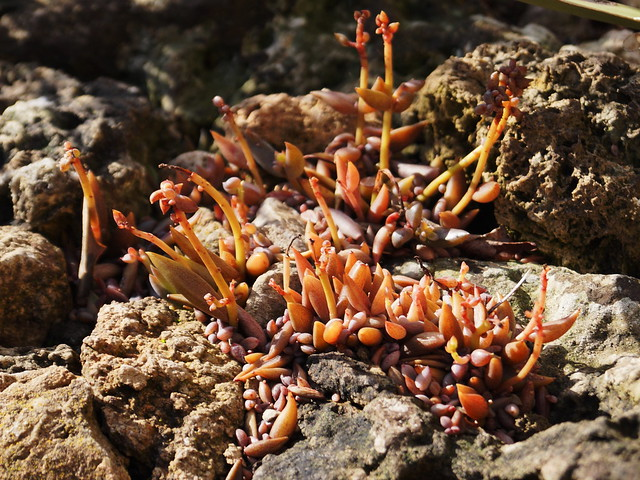 Lenophyllum texanum (J.G. Sm.) Rose 1904
