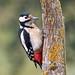 Oiseaux - Piciformes