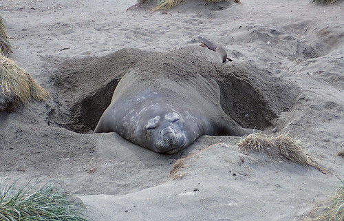 Blissful-elephant-seal