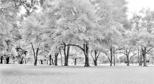 tree analog mediumformat orlando florida scenic 120film fineartphotography mamiyarb67 cypressgrovepark infraredfilm ilfordsfx200 manfrotto190xprob handheldlightmeter mamiyasekor50mmc gossensuperpilot 496rc2ballhead topazbweffects sammysantiago