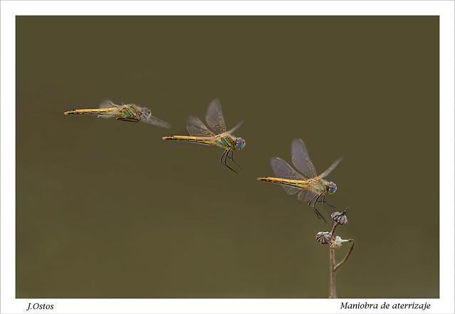 Secuencia de aterrizaje de Sympetrum fonscolombii hembra