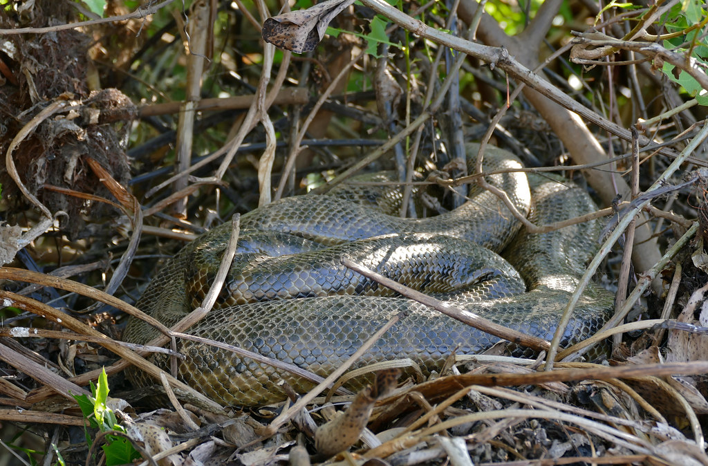 Yellow Anaconda (Eunectes notaeus) coiled on the bank ...