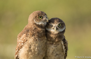 Owl you need is love.. | by Barb D'Arpino Photography