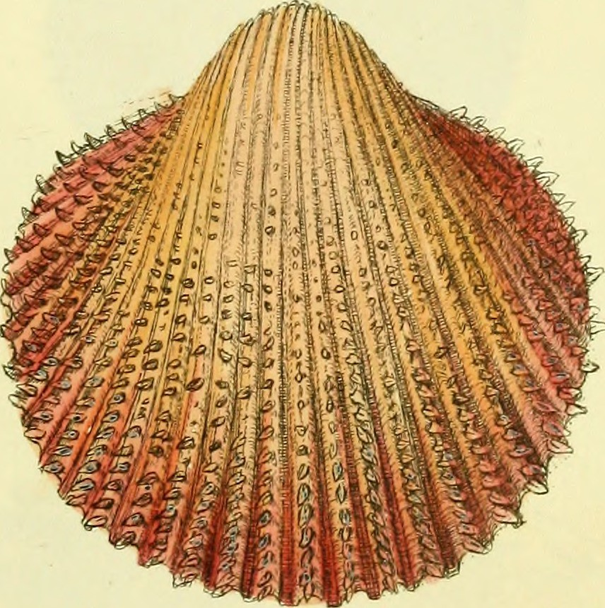 Image From Page 26 Of The Conchological Illustrations Or