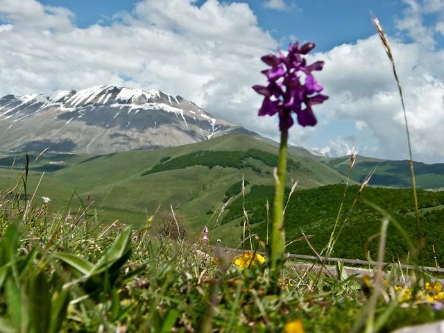 Orchidea e Monte Vettore