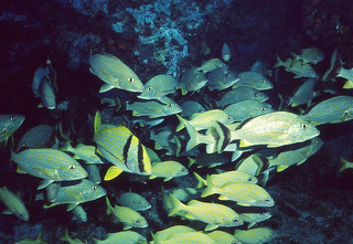 Bluestriped Grunts (Haemulon sciurus)(top), French Grunts (Haemulon flavolineatum)(below) and one Porkfish (Anisotremus virginicus)