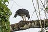 Harpy Eagle (Harpia harpyja) by Ron Winkler nature