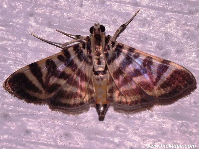 Grass Moth - Spilomela sp. -  Family Crambidae - HC 2014-192