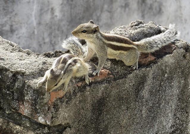 udaipur squirrels