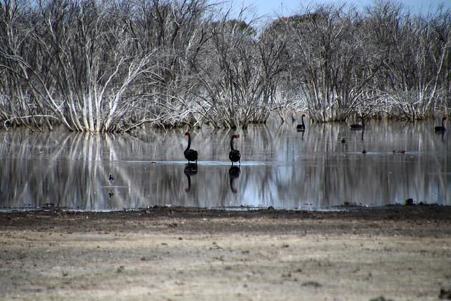 Black swans at the lagoon