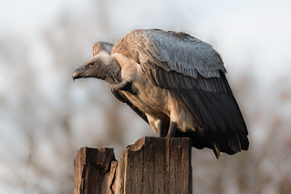 vulture looking out | by Evelakes67