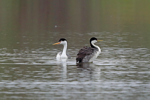 Clark's Grebe, San Joaquin Wildlife Sanctuary, Orange County, California | by Terathopius