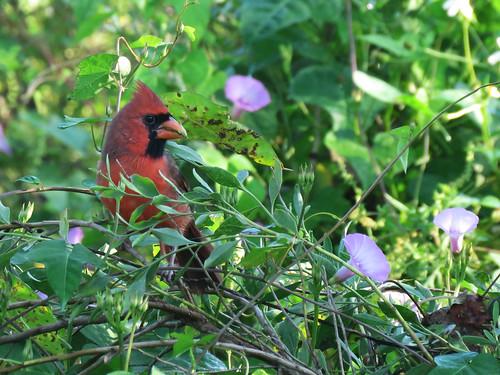 Northern Cardinal | by magnificentfrigatebird
