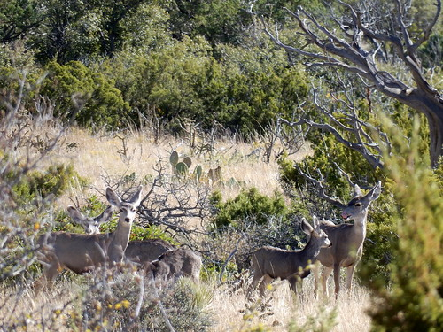 Guadalupe Mountains National Park - mule deer