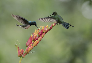 White necked Jacobin , Florisuga mellivora & Green crowned Brillant, Heliodoxa jacula | by George Cruz // www.sanjorgeecolodges.com