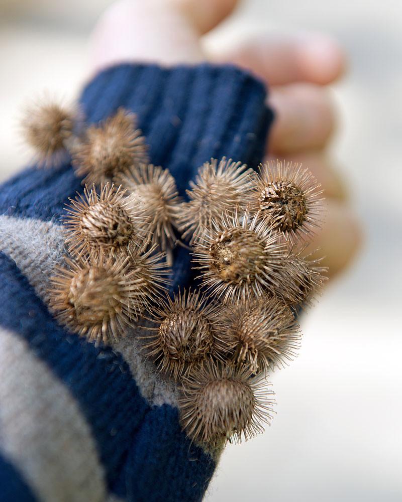 Burdock (Arctium kappa) | Burdock (Arctium kappa) Burrs | Flickr